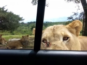 Video: South Africa's Lions Know How To Open Cars!
