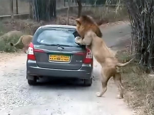 Safari Car Attacked By A Lion