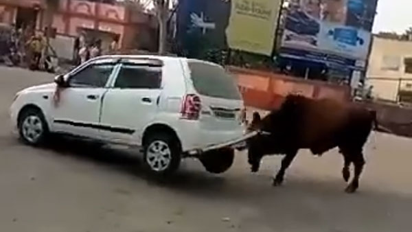 Angry Bull Attacks Maruti Suzuki Alto: Bull Lifts the Car And Throws It Around