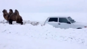 Funny Car Video: 'Camelpower' Overpowers Horsepower!
